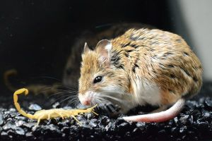 Grasshopper Mouse with his dinner snack