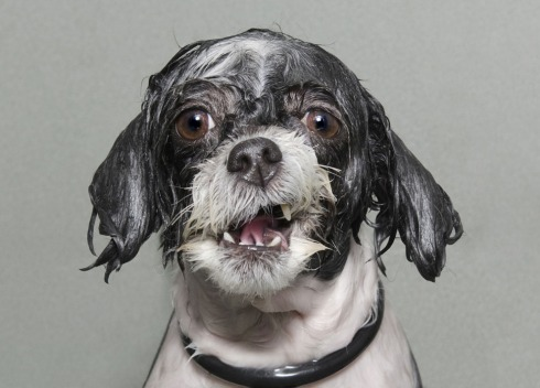 Caught mid-bath, a wet dog tries to save the last bit of dignity he has. (© Sophie Gamand, 2014 Sony World Photography Awards)