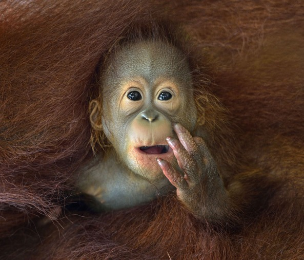 A baby Orangutan peeking out from his mother's embrace. (© Chin Boon Leng, 2014 Sony World Photography Awards)