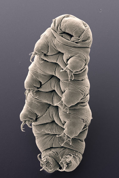 A scanning electron micrograph of a water bear. Like regular bears, tardigrades have claws, which help in locomotion. Unlike regular bears is everything else about tardigrades, particularly their lack of a totally crappy attitude all the time. Image: Bob Goldstein and Vicky Madden