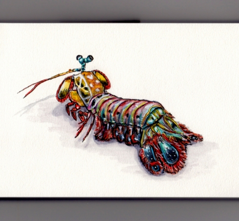Watercolor Peacock Mantis Shrimp by Charlie O'