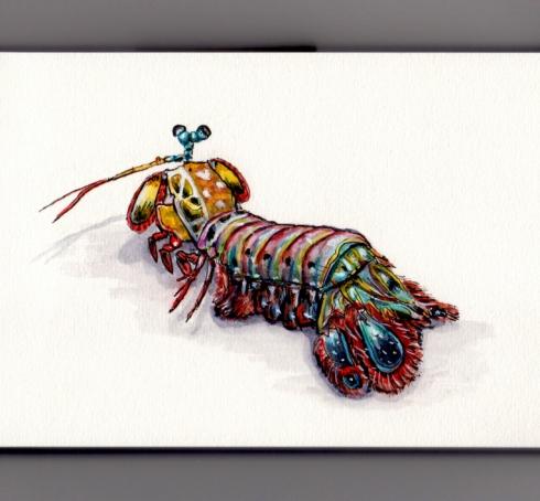 Watercolor Peacock Mantis Shrimp by Charlie O'
